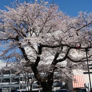 『北川医院』の桜