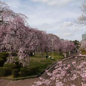 『榴ヶ岡公園』の桜