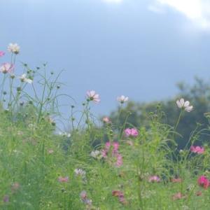 sakeの歩窓から(昭和記念公園でコスモスと彼岸花)