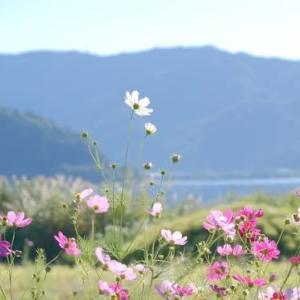 sakeの歩窓から(河口湖のコスモス)
