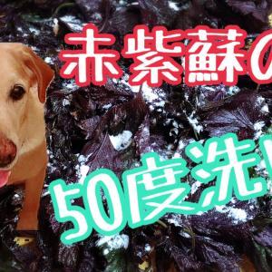 赤紫蘇の50度洗い☆人の食育☆伝統食☆