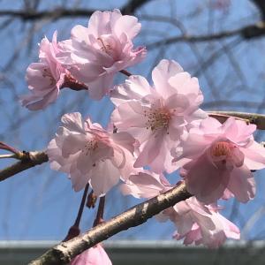 うちの桜もやっと
