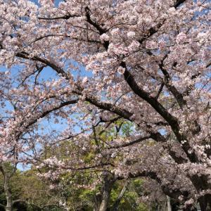 桜の舞い散る公園にて