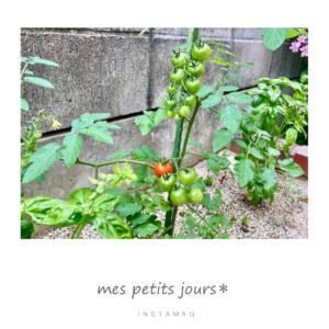 トマト、無花果豊作