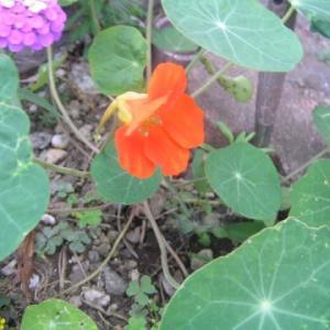 種蒔きからの開花