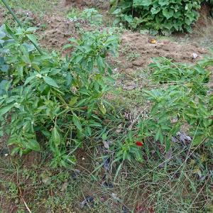 雑草だらけの畑