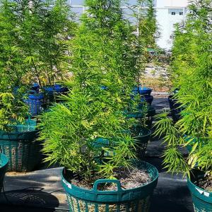タイにおいて病院を中心に医療用大麻の生産が始まりました。