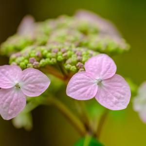 24/May  サンコウチョウと紫陽花とハナアブ