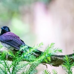 07/Jun  峠のミソサザイとコマドリと近所の野鳥たち