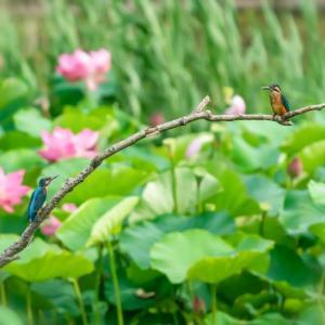 11/Jul 蓮池のカワセミ親子と田んぼの鷺たち