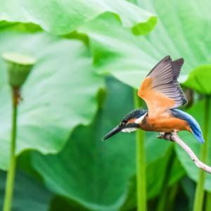 20/Jul 蓮池と花菖蒲池に飛んで来たカワセミの幼鳥