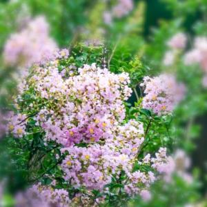 30/Jul  朝の散歩道の花とカワセミ
