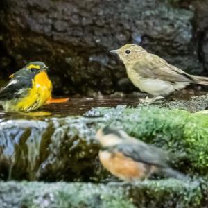 12/Aug山の泉の幼鳥たちと赤富士サイダー