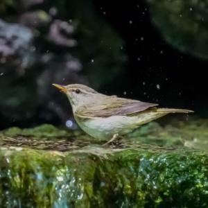24/May  お山の野鳥と夕焼けと流れ星🌠
