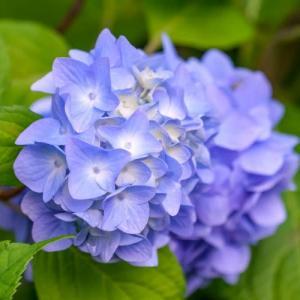 31/May  紫陽花と花菖蒲とカワセミくん
