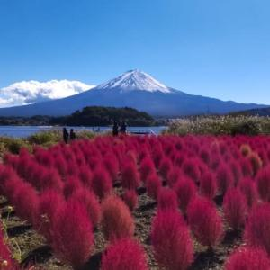 23/Oct コキアの紅葉と雪化粧の富士山🗻