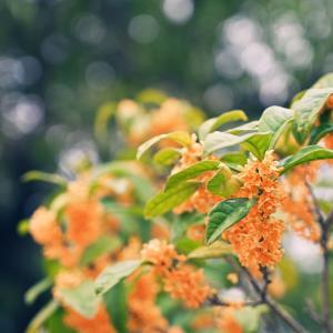 金木犀香る季節♪