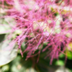 小さな庭のピンクの花々♪