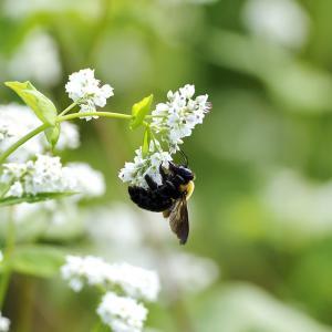 蕎麦の花とハチ♪