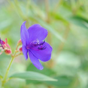 紫紺野牡丹♪