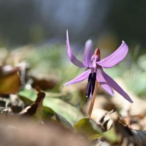 カタクリの花♪