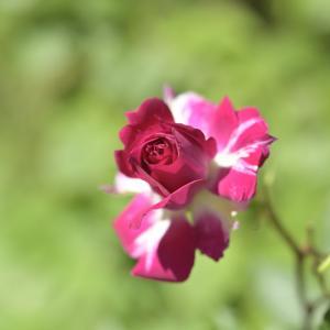 またまた庭のバラ♪