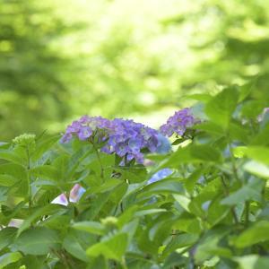 紫陽花と薔薇♪