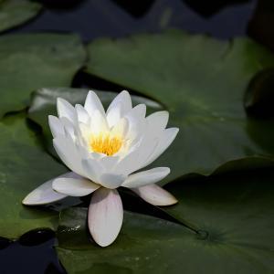 水面に咲く花♪