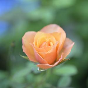 秋薔薇の季節ですね♪