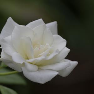 Rose・・アイスバーグ♪