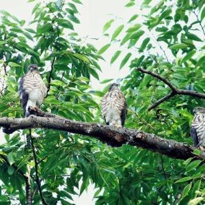 神聖な森で・・・・・ツミの幼鳥たち