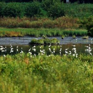 お池の水がぁ~・・・・・・今季初撮りオオタカ若・アオアシシギ