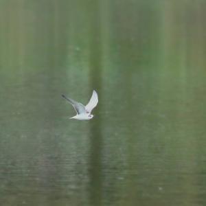 台風が来る前の沼・・・・・ハジロクロハラアジサシ幼鳥