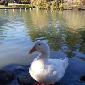公園で出会ったアヒルさん。