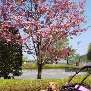 ハナマズキの咲く頃。