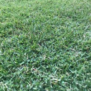 冬も葉が緑な日本芝?