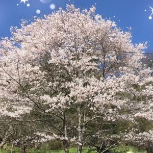 ★桜が満開!