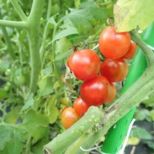 トマト祭り開始