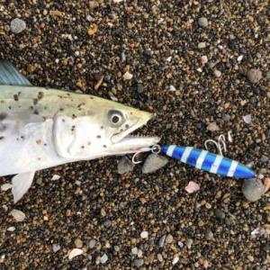 新潟での初釣りは…サゴシ!-新潟県上越市-青物