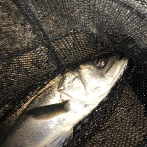 今年は大きな外道が良く釣れる?-新潟県柏崎-メバル