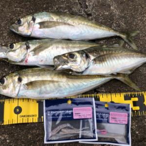 アジのボイルだらけ…投げれば釣れる(笑)-新潟県柏崎-アジング