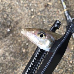 釣り場を見切って正解だった釣行-新潟県柏崎・上越-シロギス