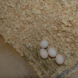 クーちゃん、何個卵を産むつもり?