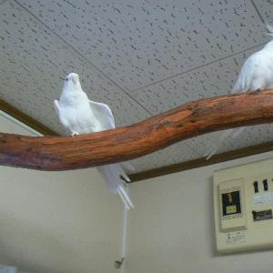 2羽で抱卵頑張ってます!