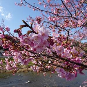 河津桜と車中泊