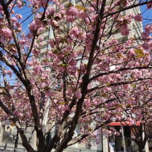 桜満開!!池町川!!