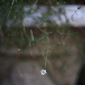 小さな花 EOS RP EF50mmF1.8