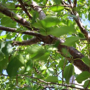 風に揺れる桜の葉 EOSRP RF35mm F1.8