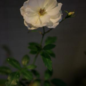 自由が丘の飲み屋街で咲く花 CANON EOS RP RF35mmF1.8