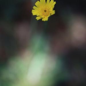 ブリスベンの黄色い花 オーストラリアの風景写真/Australia landscape